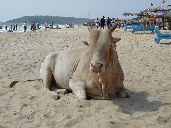 インド ゴア バガビーチ 牛