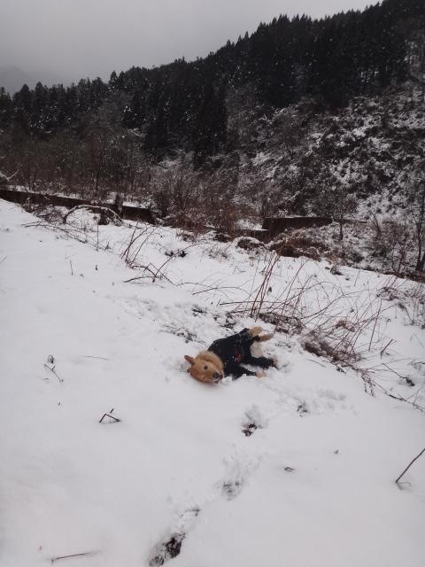 山登り 能郷白山 雪にゴロスリするゴールデンレトリバーのララ