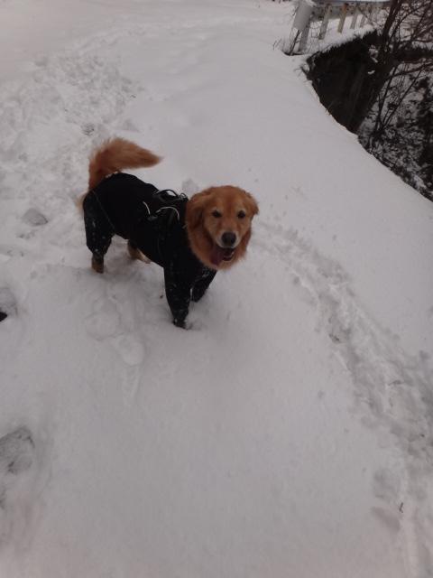 山登り 能郷白山 雪が深くなってきて喜ぶゴールデンレトリバーのララ