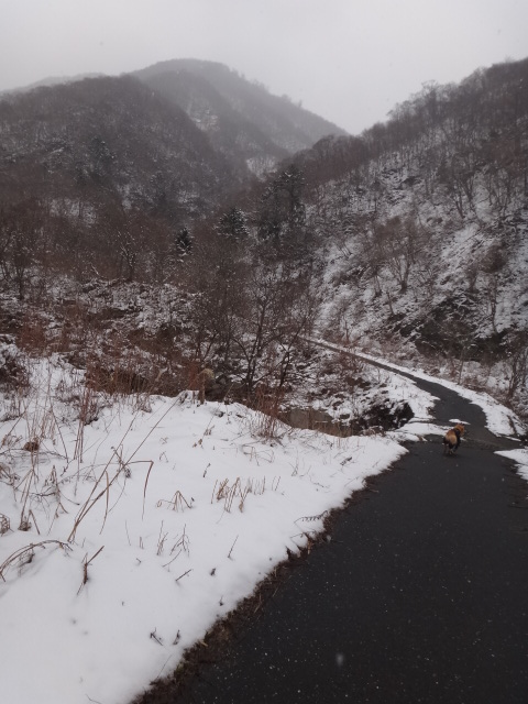 山登り 能郷白山 林道には雪がありません 前を行くゴールデンレトリバーのララ