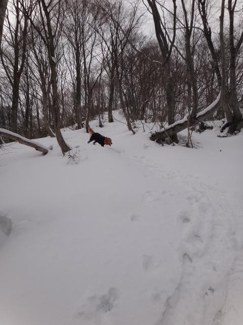 山登り 能郷白山 稜線は雪がたっぷり ゴールデンレトリバーのララも喜んでる