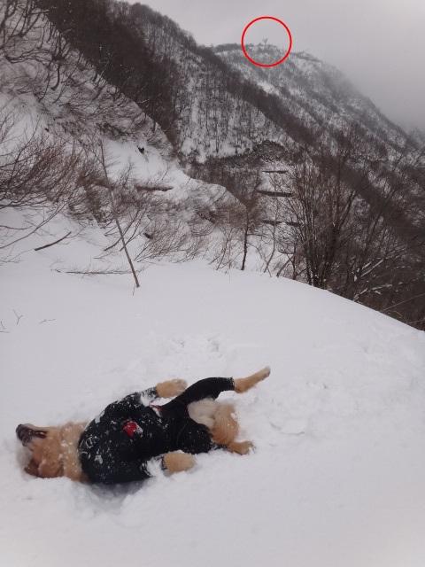 山登り 能郷白山 第二登山口 目標を設定 雪にゴロスリ ゴールデンレトリバーのララ