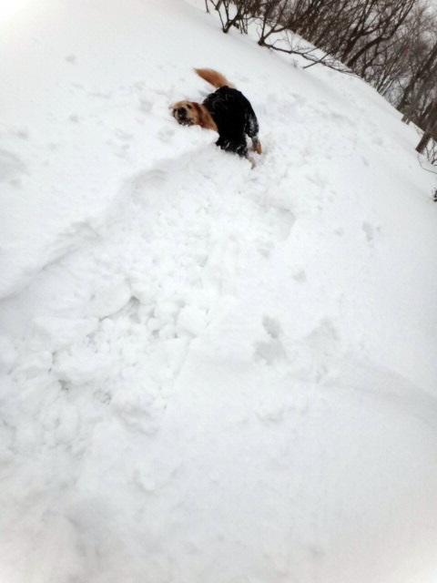 山登り 能郷白山 雪に埋まる ゴールデンレトリバーのララ