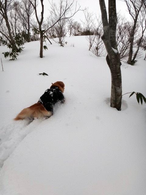 山登り 能郷白山 新雪を歩く ゴールデンレトリバーのララ