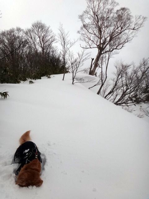 山登り 能郷白山 ハートの木 近影 ゴールデンレトリバーのララにとっては木よりも雪