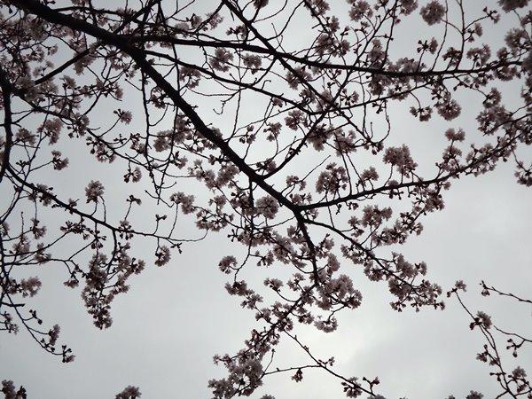 岐阜 長良川沿いの桜 満開