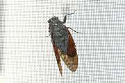 岐阜のFrameWork設計事務所の網戸に蝉(アブラゼミ)がいました。