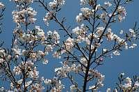 池田山山頂へドライブ 桜が咲いてました
