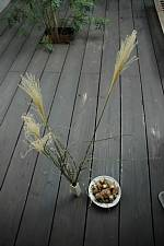 岐阜のFrameWork設計事務所の物件「七郷の家」の中庭のデッキの上でお月見 笹と里芋
