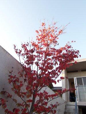 岐阜のFrameWork設計事務所の物件「七郷の家」 ヤマボウシが色づき紅葉しました 天気もよく空の青が綺麗