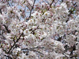 桜はいいね~^^
