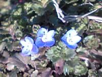 散歩で見かけた小さな青い花