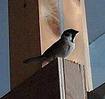 「西中島の家」の現場に迷い込んできた鳥 スズメさん ズーム