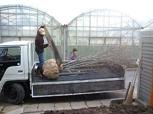 岐阜のFrameWork設計事務所の物件「西中島の家」 トラックからヤマボウシを下ろしてます。お施主さん自ら作業中