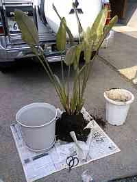 岐阜 FrameWork設計事務所 七郷の家 コンクリート打ち放し 住宅 ストレリチア 鉢から取り出し