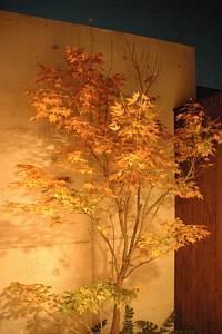 岐阜 FrameWork設計事務所 七郷の家 トイレの庭のもみじ 紅葉し始めました